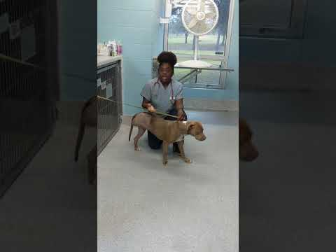 Temperature, Pulse rate, Respiratory Rate, & Ausculate Heart and Lungs on a dog