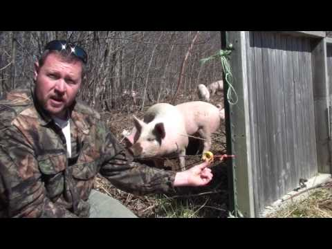 How to Run Electric Pig Fencing at Heritage Farm Maine Part 2 Insulators