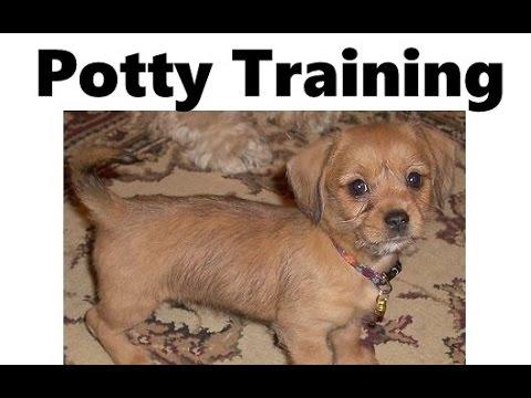 How To Potty Train A Schweenie Puppy - Schweenie House Training - Housebreaking Schweenie Puppies