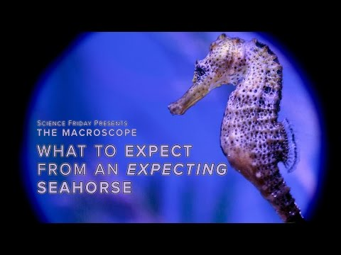 What to Expect From an Expecting Seahorse