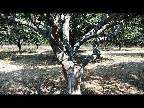 Termites attack in Mango trees