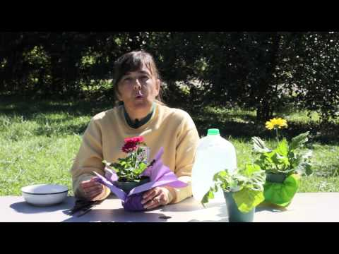 How to Grow White & Pink Gerbera Daisies : Gerbera Plant Care