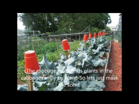 How I defeated the cabbage worm on my broccoli plants