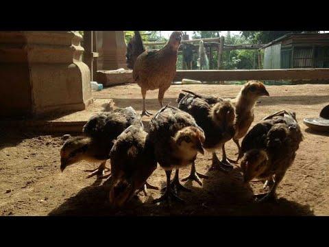 បាន1មេ ទៀត  ហេីយ Amazing chicken in cambodia