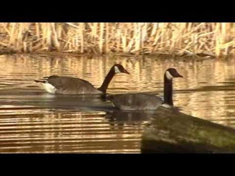 Canada geese honking calling swimming High Park Grenadier Pond Toronto Canada