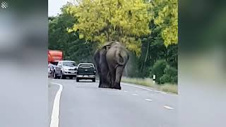 Male elephants hold up traffic while fighting over desirable female