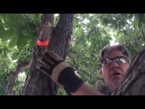 Preventing Oak Wilt with Proper Pruning