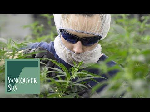 Medical marijuana grow ops pose unseen dangers | Vancouver Sun