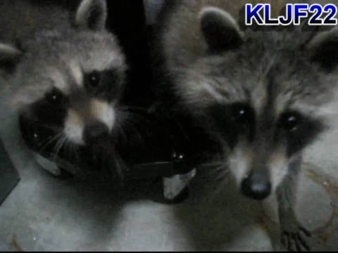 Baby Raccoons Playing (Video)