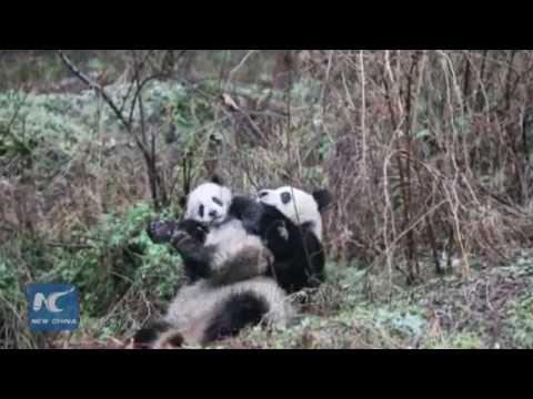 How captive pandas receive training to enter the wild