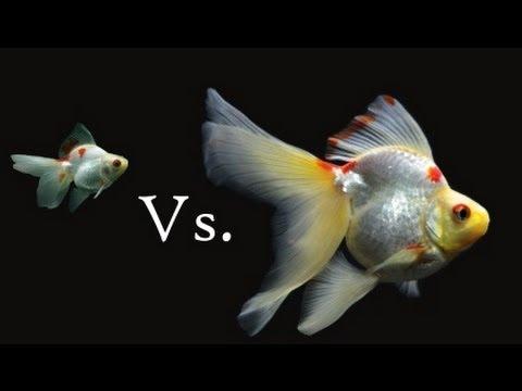 Ryukin Goldfish Growth and Change