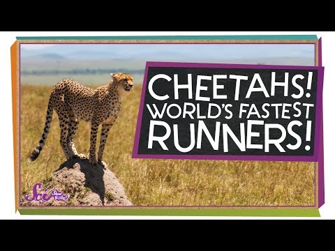 Cheetahs: The Fastest Runners in the World