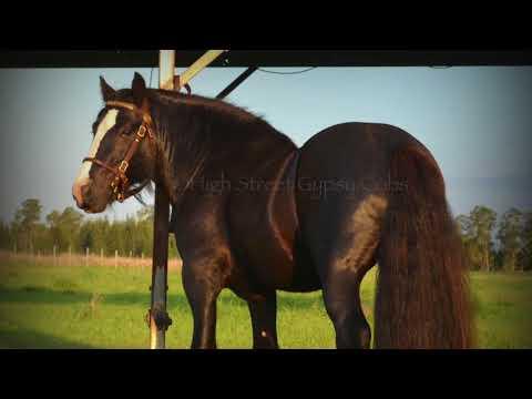 High Street's The Horseshoe Stallion - Gypsy Cob For Sale