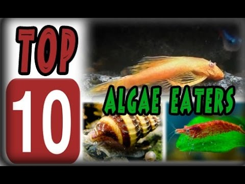 Top 10 Algae Eaters