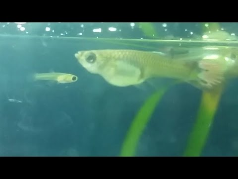 At what age female guppy can get pregnant? premature guppy pregnancy