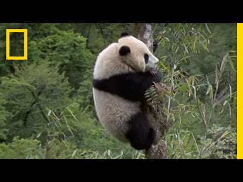 Elusive Giant Panda | National Geographic