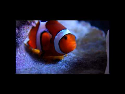 Percula clown fish spawning and laying eggs