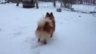 Pomeranian. First snow. My Pom in the snow.