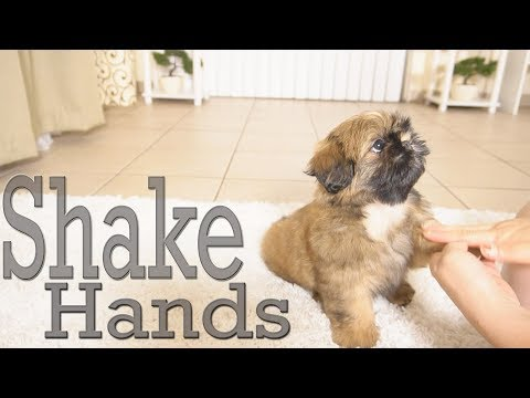 How to Train Your puppy to Shake Hands | Shih Tzu TOO CUTE