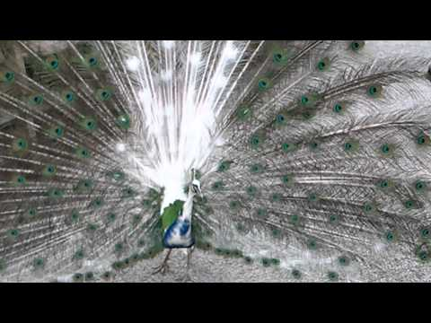 Half white peacock spreads his feathers