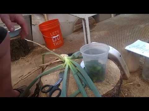 Harvesting green onion plants.