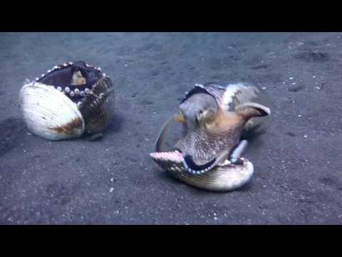 Octopuses Slap One Another