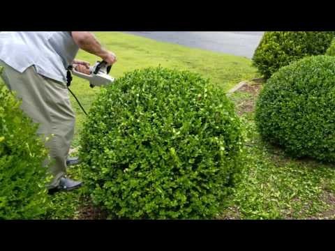 How to trim a perfectly round shrub.