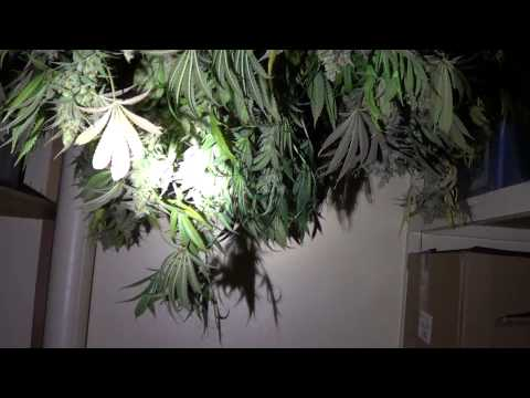Harvest update, taking a look in the drying room - will have the #'s soon! - Add me on Facebook!
