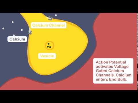Muscle Excitation Part 3