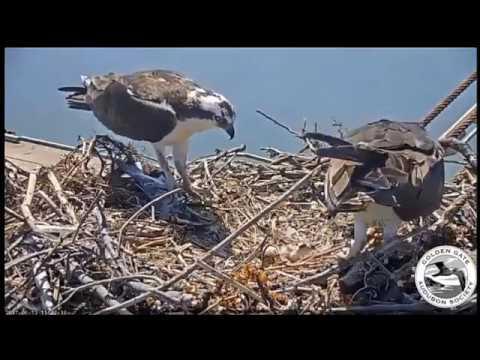 Farewell  San Francisco Bay Ospreys 2017