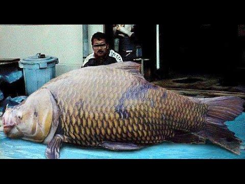 World's Biggest Asian Fish