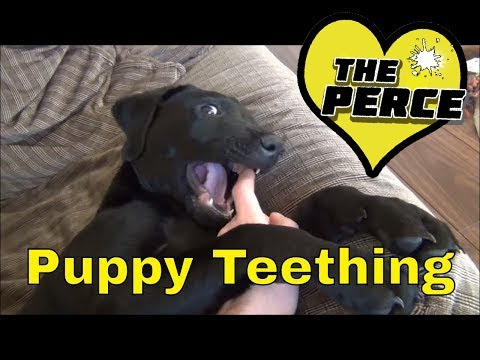 Puppy Labrador how to stop biting. teething