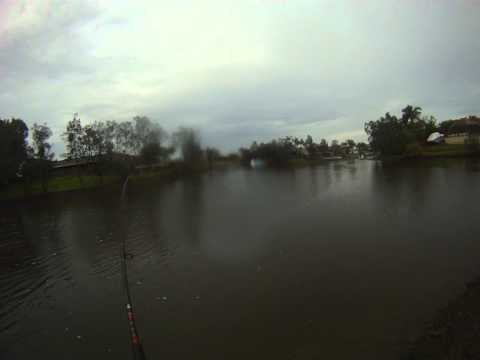 Live Baiting for Small Bulls Sharks in Gold Coast Canals