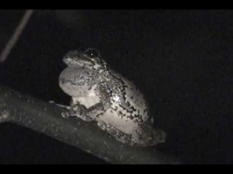 Gray Tree Frog mating call