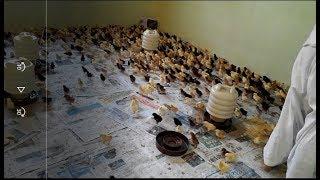 Golden Misri small scale setup in home day 6/ desi murgi ka