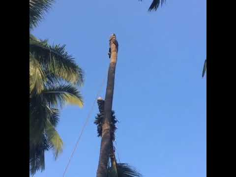 Easy way to cut coconut tree/only 2 person needed