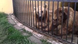გორის ნიჭიერი დათვები