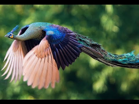 750 Koleksi Gambar Burung Merak Mudah Di Tiru Gratis Terbaik