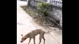 Perro marchando