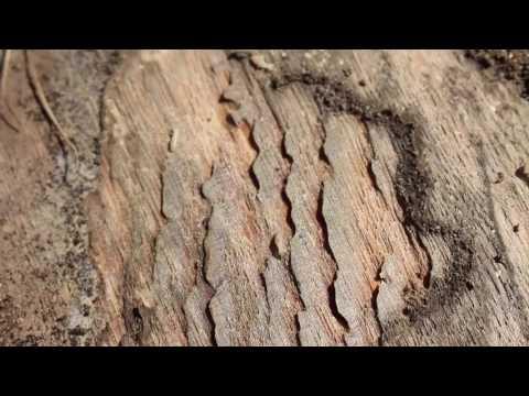 Live Termites!