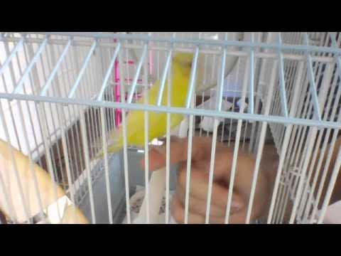 BABY PARAKEET BUDGIE STEP UP TRAINING
