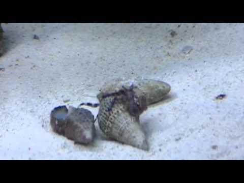 Hermit Crab steals shell