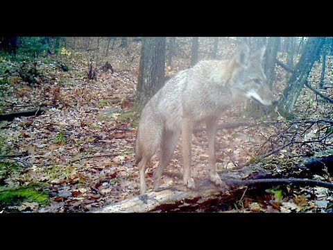 Trailcam footage Coyotes, Otters, Deer, Cougar, Beaver and more!
