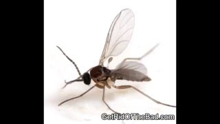 How To Get Rid Of Gnats In Your House Kill Them Fast