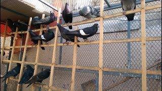 Sumair Bhai K Jal K New gola Kabootar - Pigeons Shop Videos & Books
