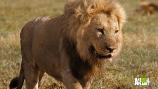Watch How This Pride of Lions Handle Some Family Drama