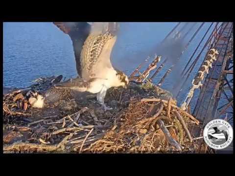 Evening osprey wingersizes  June 29, 2017