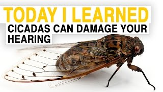 TIL: Cicadas Can Damage Your Hearing | Today I Learned