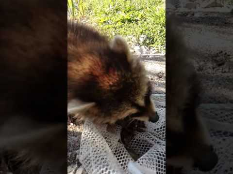 Baby raccoon noms on crayfish
