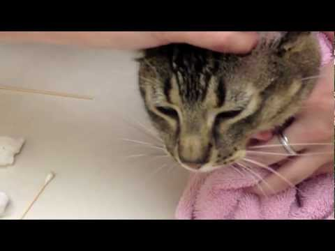 Clean Cat Ear Infections